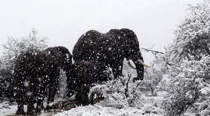 Slony a žirafy v snehu